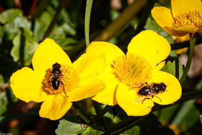 Hoverfly Social Distancing