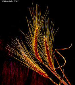 Field Barley