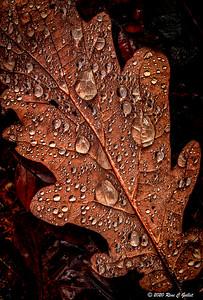 Rain Oak