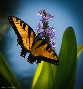 Monarch # 44