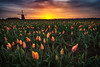 Empress Tulips at Sunrise