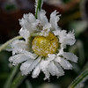 Hoar frost on one of the last daisies of the year