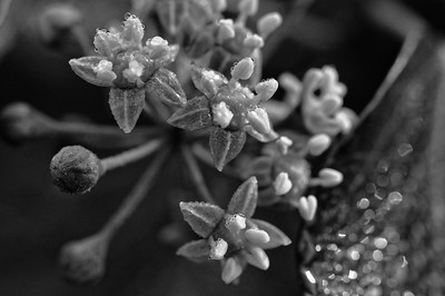 Late-November blooming ivy (b/w)