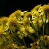 Ragwort flowers in the late-morning sun