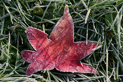 Hoar-frosted sweetgum autumn leaf