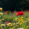 Poppy and meadow flowers