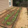June 22, 2012 - Greens garden (lettuces, arugula, spinach, etc).  The flea beetles ate and killed the mustard and kale so they've been replanted.  Water is now retained in the bed with mounds of dirt to keep it out of the pathway.