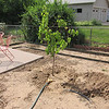 June 22, 2012 - The sad little apricot tree from home depot is still hanging in there.