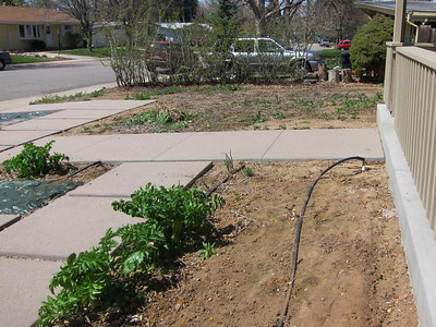 May 12 - The front yard -  in the foreground are parsnips that overwinters.  Further back is a big expanse of yard that has also been just weeds for years.