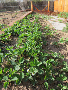 May 12 - Strawberries are blossoming.  And they are weeded and in need of mulch.