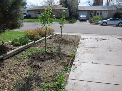 May 12 - 2 sweet cherry trees in the side yard and a few less weeds.