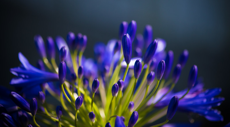 Agapanthus 'Stevie's Wonder'