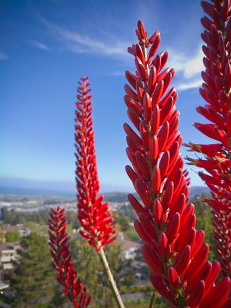 Aloe 'Always Red'