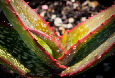 Aloe adigratana