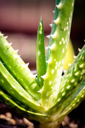 Aloe austroarabica