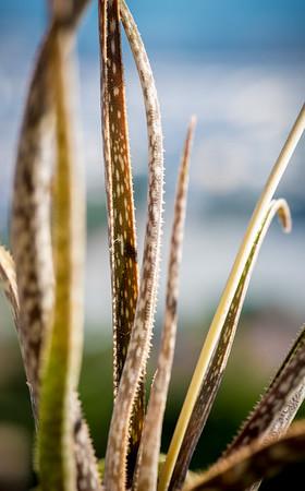 Aloe bellatula