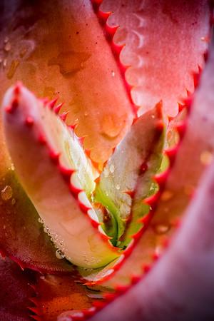 Aloe betsileensis