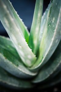 Aloe calidophila