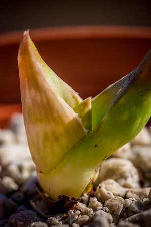 Aloe canarina