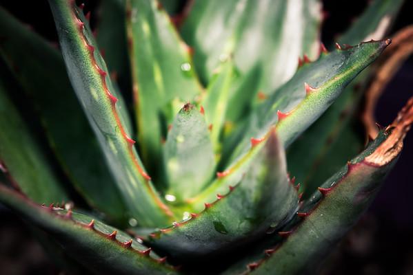 Aloe debrana