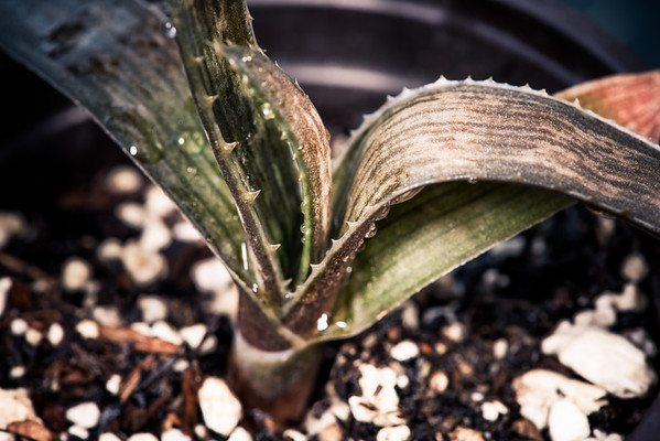 Aloe dewetii