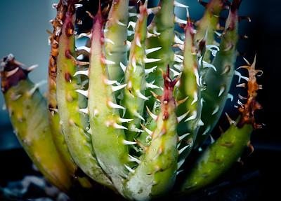Aloe erinacea
