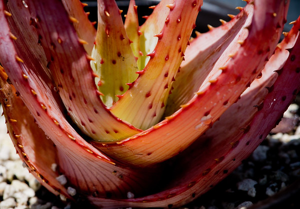Aloe glauca