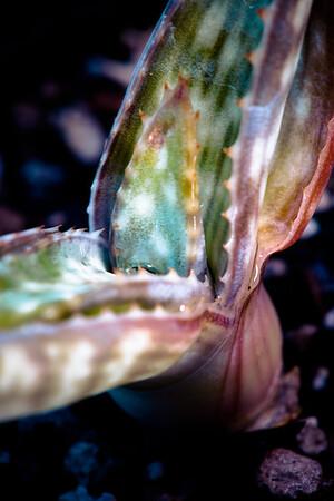 Aloe grisea