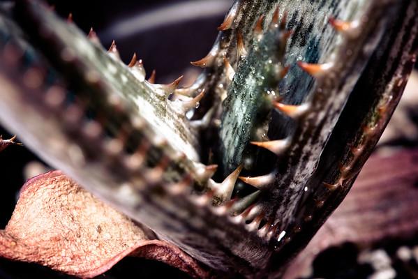 Aloe immaculata