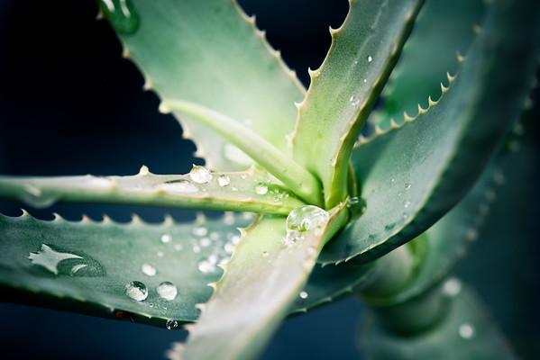 Aloe kulalensis