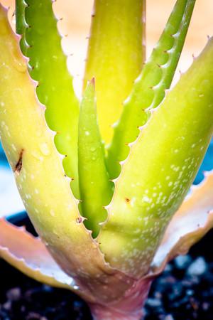 Aloe lolwensis