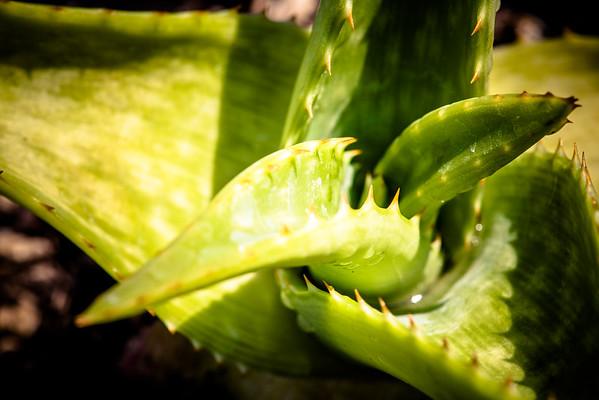 Aloe longibracteata