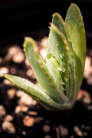 Aloe longistyla