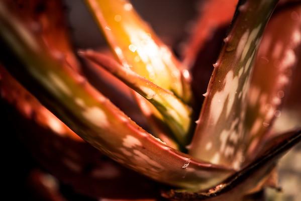 Aloe macrosiphon