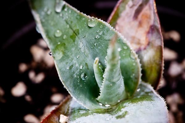 Aloe makayana