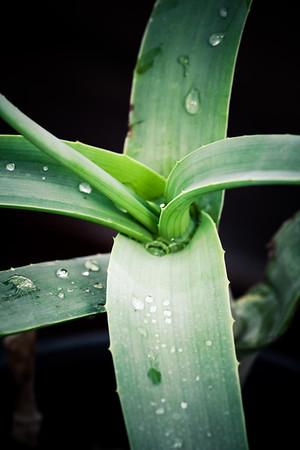 Aloe mendesii