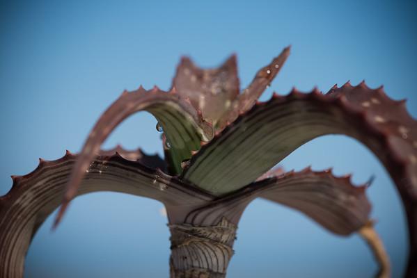 Aloe monotropa