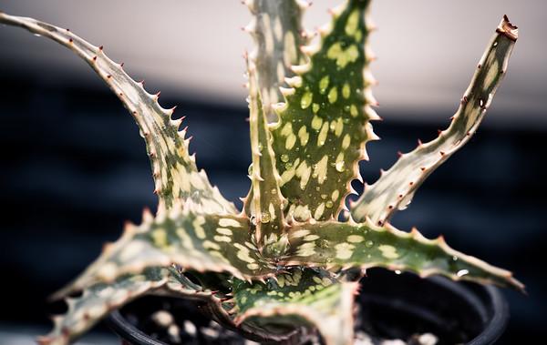 Aloe mossurilensis