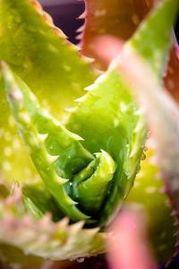 Aloe mubendiensis