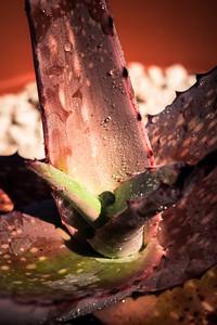 Aloe niebuhriana