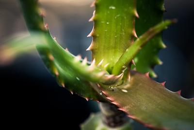 Aloe palmiformis