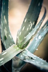Aloe penduliflora