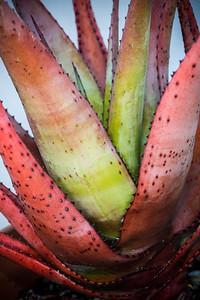 Aloe pienaarii