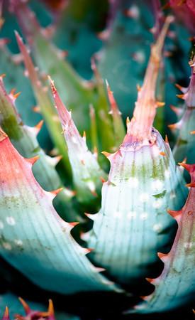Aloe pratensis
