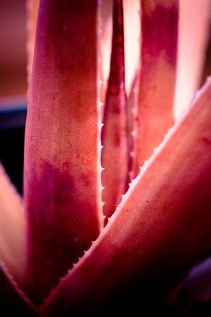 Aloe purpurea