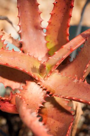 Aloe rupestris