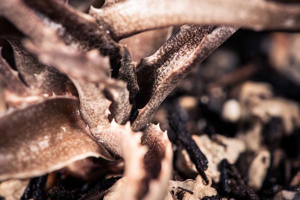 Aloe sakarahensis ssp. pallida