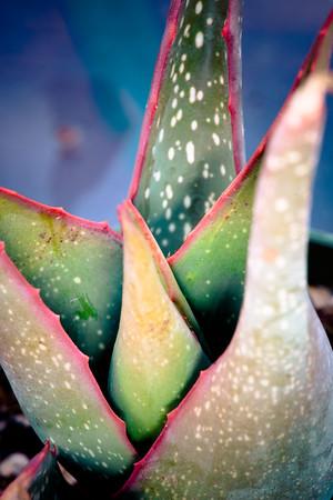 Aloe schoelleri