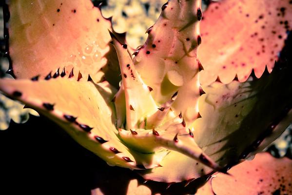 Aloe secundiflora