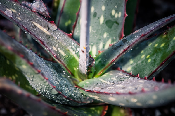 Aloe sinkatana